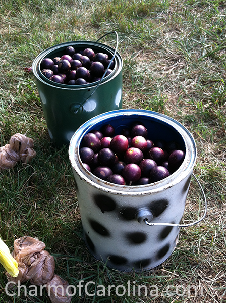 Muscadines in buckets
