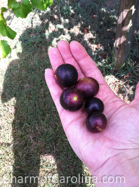Muscadines in hand