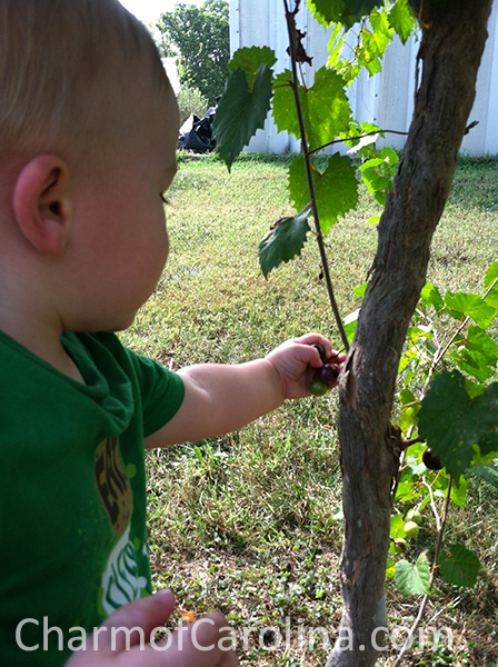 Muscadines toddler picking