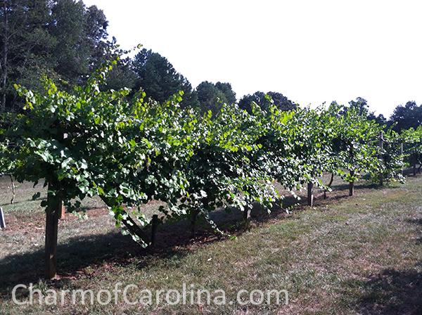 Muscadines vines
